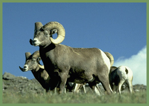 bighorn sheep at Rocky Mountain National Park