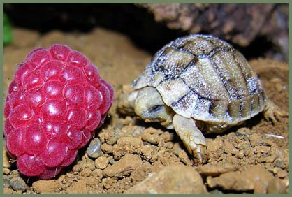 newly hatched Egyptian tortoise at Chester Zoo, UK